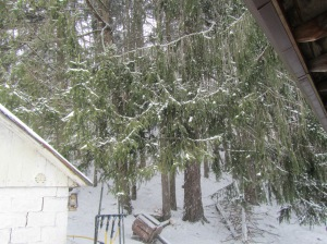 Norwegian Spruce next to our Cellar House....